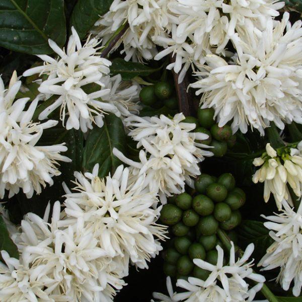 Wissen 002 - Kaffeeplfanze Blüten - MAKRO