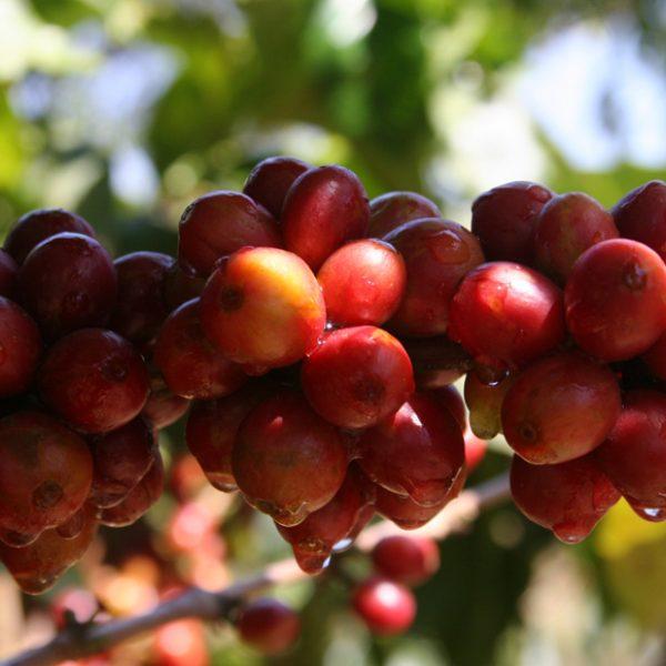 Wissen 003 - Kaffeekirschen rot reif