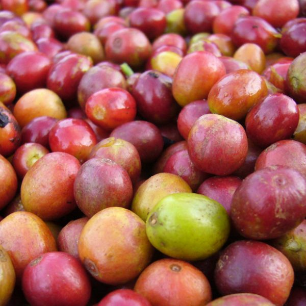 Wissen 004 - Kirschen gepflückt - MAKRO